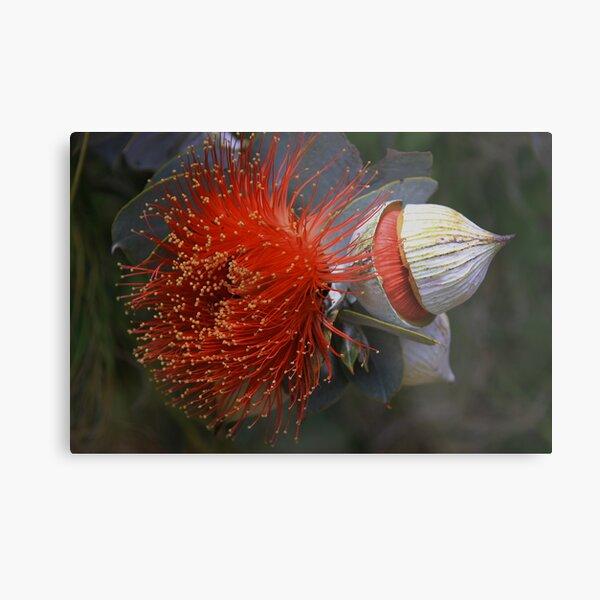 Eucalyptus macrocarpa Metal Print