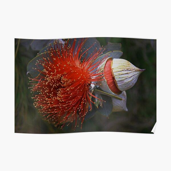 Eucalyptus macrocarpa Poster