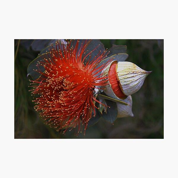 Eucalyptus macrocarpa Photographic Print