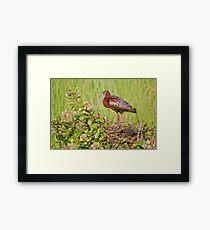 Glossy Ibis on Nest Framed Print