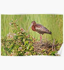 Glossy Ibis on Nest Poster