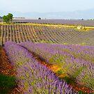 Lavender fields, Plateau de Valensole, Provence, France by Sami Sarkis