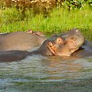 Group of Hippopotamus bathing  by Sami Sarkis