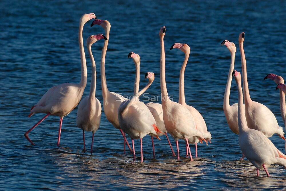 Flock of Greater Flamingoes  during mating season by Sami Sarkis