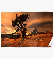 Limber Pine Whaleback Ridge Poster