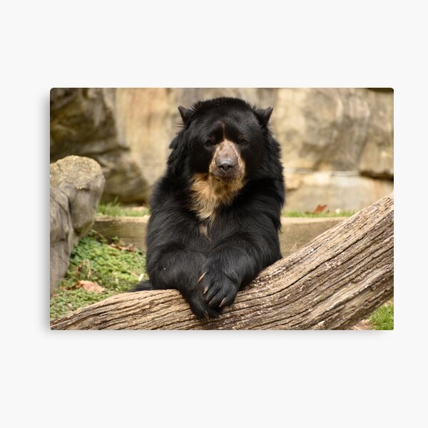 Andean Bear at the National Zoo Canvas Print