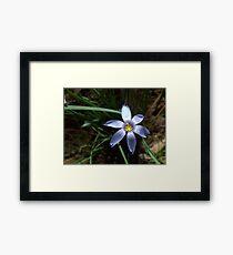Blue-eyed Grass Framed Print