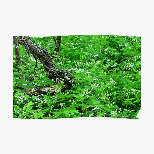 Woodland Still Life with Sweet Cicely Poster