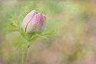 morning anemone by Teresa Pople