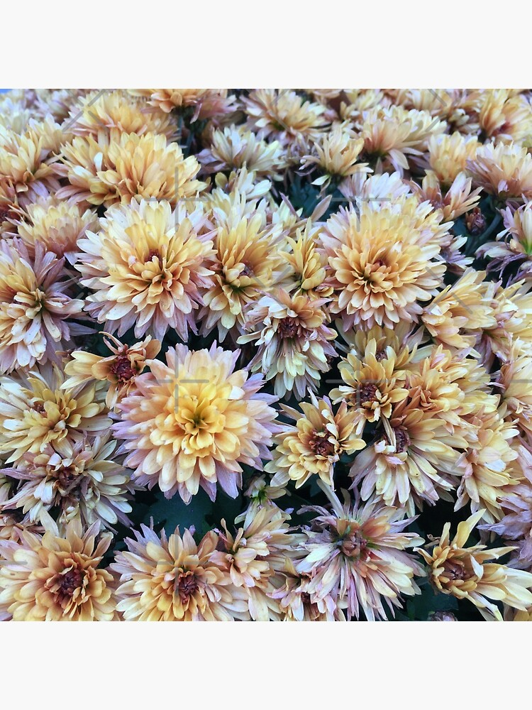 Gift for Gardener - Mumsified - Light Yellow and Pink Mums by OneDayArt