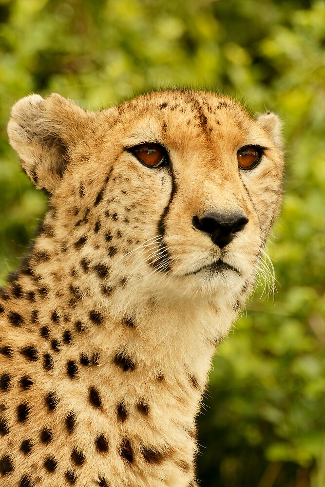 Cheetah by Anton Alberts