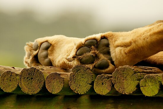 Lions paws by Anton Alberts