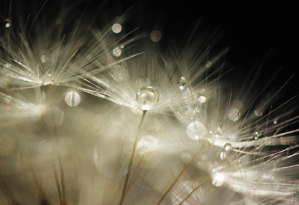 Dandelion macro by lorrainem