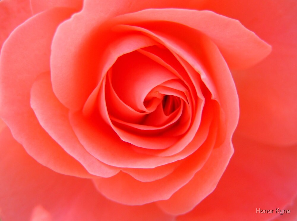 Quot Coral Rose Quot By Honor Kyne Redbubble
