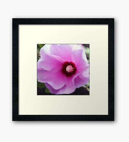 Lavender Hibiscus    Framed Print
