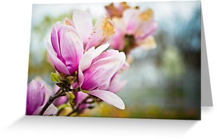 Magnolia in Pink II by CandiMerritt