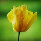 Yellow Tulip by Jonice