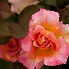 Rose by Yvonne Roberts