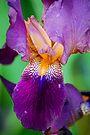 Purple Iris by Tori Snow