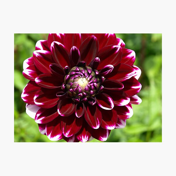 Dahlia - Burgundy with white tips Photographic Print