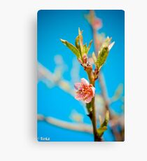 Peach Canvas Print