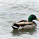 Mallard Duck by EmilyDawn