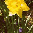 Daffodil  by EmilyDawn