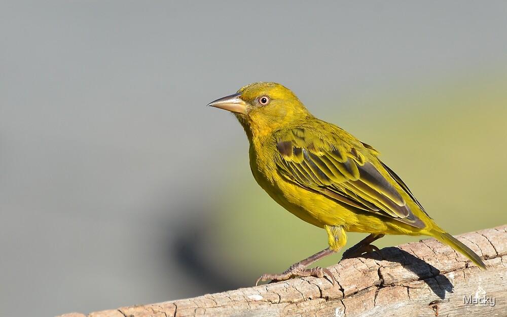 Yellow........... by Macky