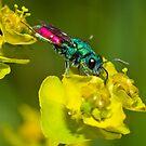 Ruby tailed wasp [Chrysis ignita group] by Vasil Popov