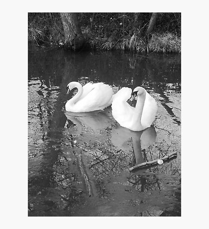 Swans, Newport Canal Photographic Print
