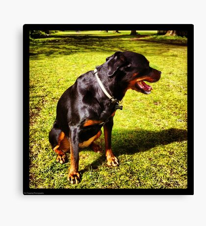 Shy Rottie Canvas Print