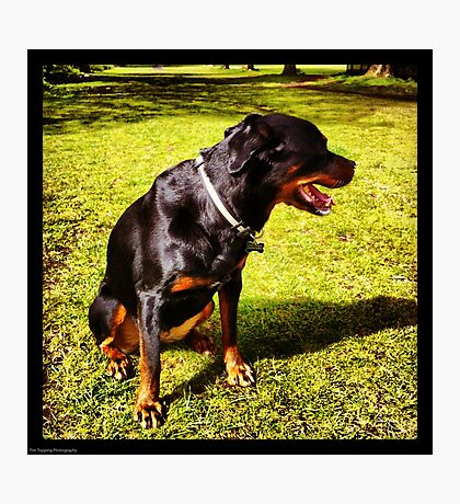 Shy Rottie Photographic Print