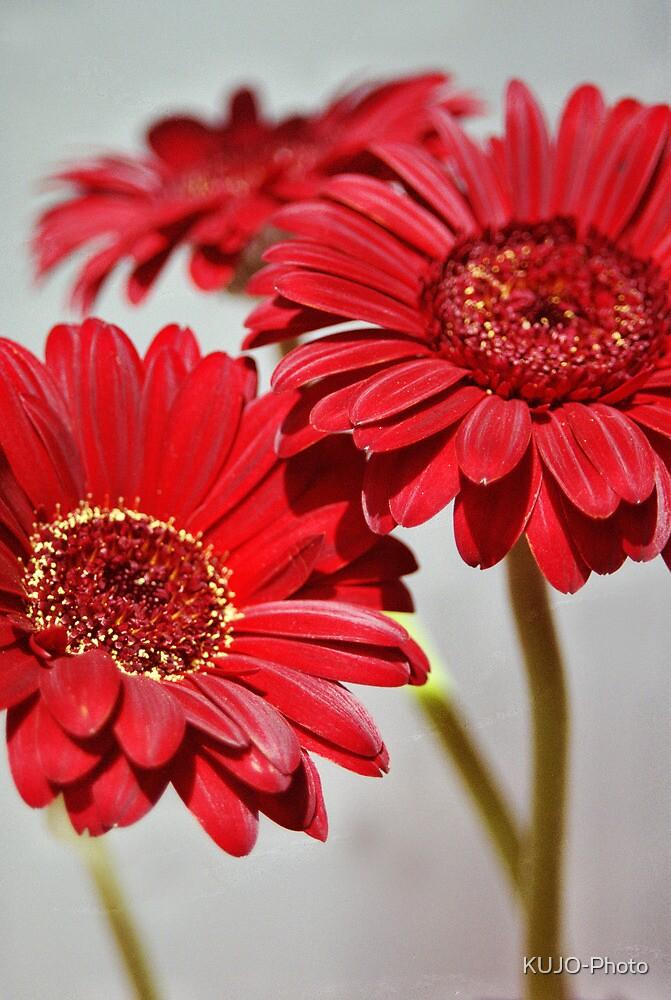 Three red Gerberas by KUJO-Photo