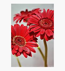Three red Gerberas Photographic Print