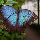 Blue Butterfly by KUJO-Photo