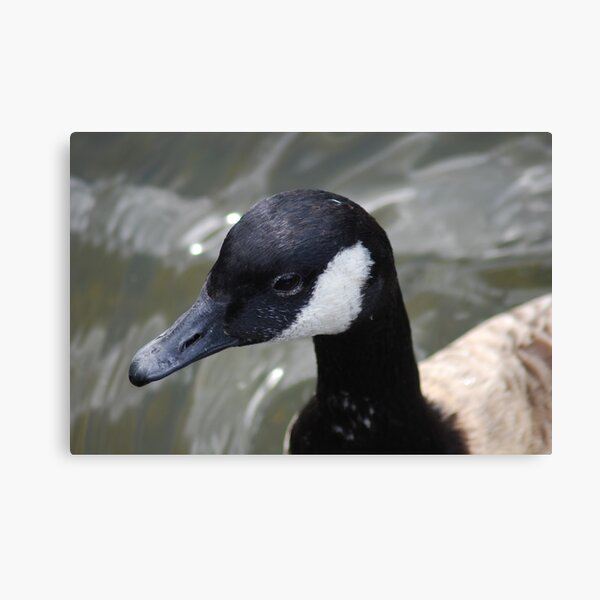 London - Old duck Canvas Print