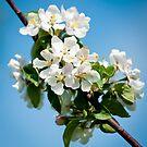 Apple Blossom 3 by Jacinthe Brault