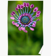 African Daisy in bloom Poster