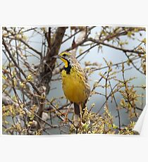 Yellow throated longclaw Poster