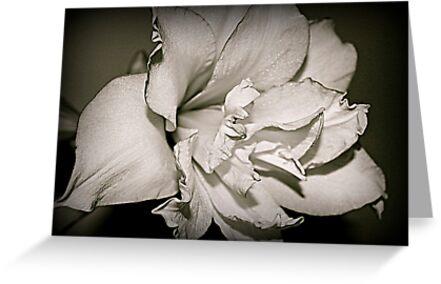 Amaryllis by Lou Wilson