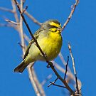 Yellow Fronted Canary by Michael  Moss
