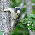 In Your Face Southern Silver Fox Squirrel by Kathy Baccari