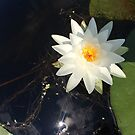 Naturals by Nikki - White Water Lily (open) by Nikki Smith