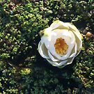 Naturals by Nikki - White Water Lily (closed) by Nikki Smith