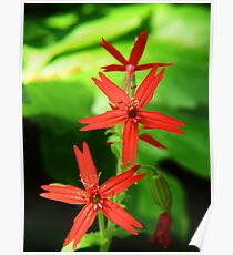 Scarlet Catchfly Twins Poster