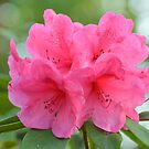 Rhododendron by roumen