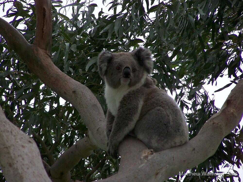Koala at Kingsvue by Matthew Walmsley-Sims