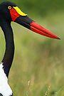 Saddle-billed stork by Explorations Africa Dan MacKenzie