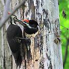 Pileated Woodpecker Feeding Chick by Raider6569