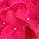 Hydrenga Close Up ©Linda Scott♥ by Linda Scott